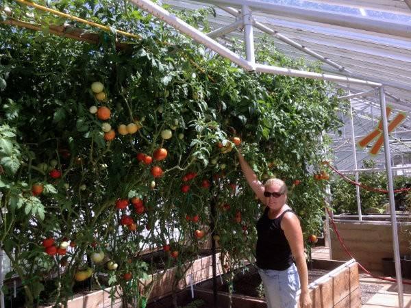 Fertilizers 10 foot tall tomato plants